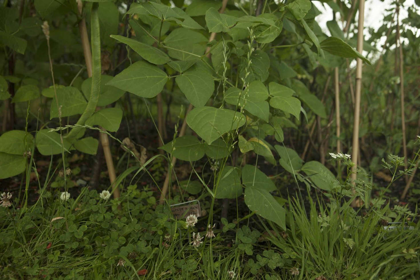 Runner beans with a fringe of clover and cow parsley.