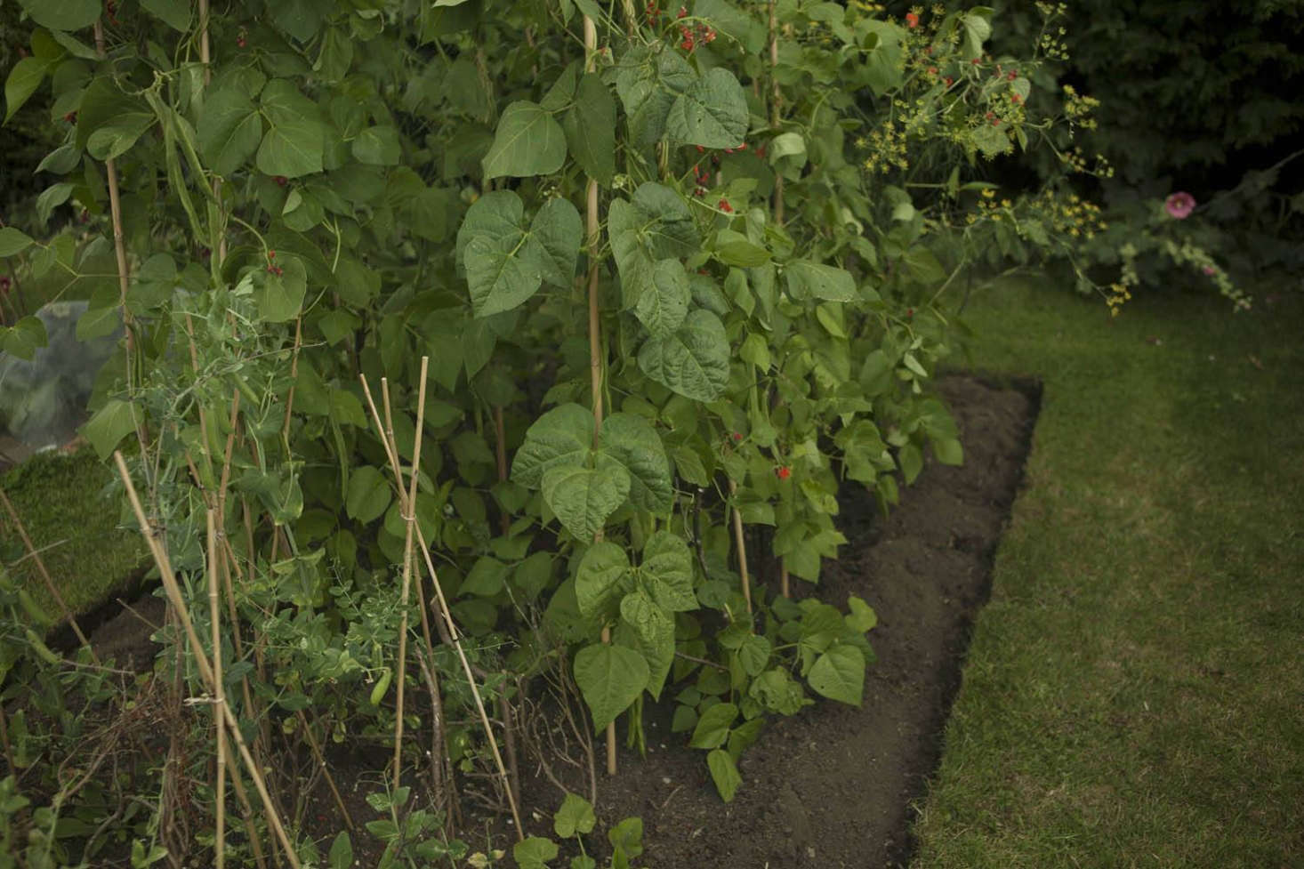 Straight edges and deep furrows give the impression of a vegetable garden that is carefully tended, instead of being left to its own devices. These impermanent edges will need to be trimmed and re-sliced from time to time.