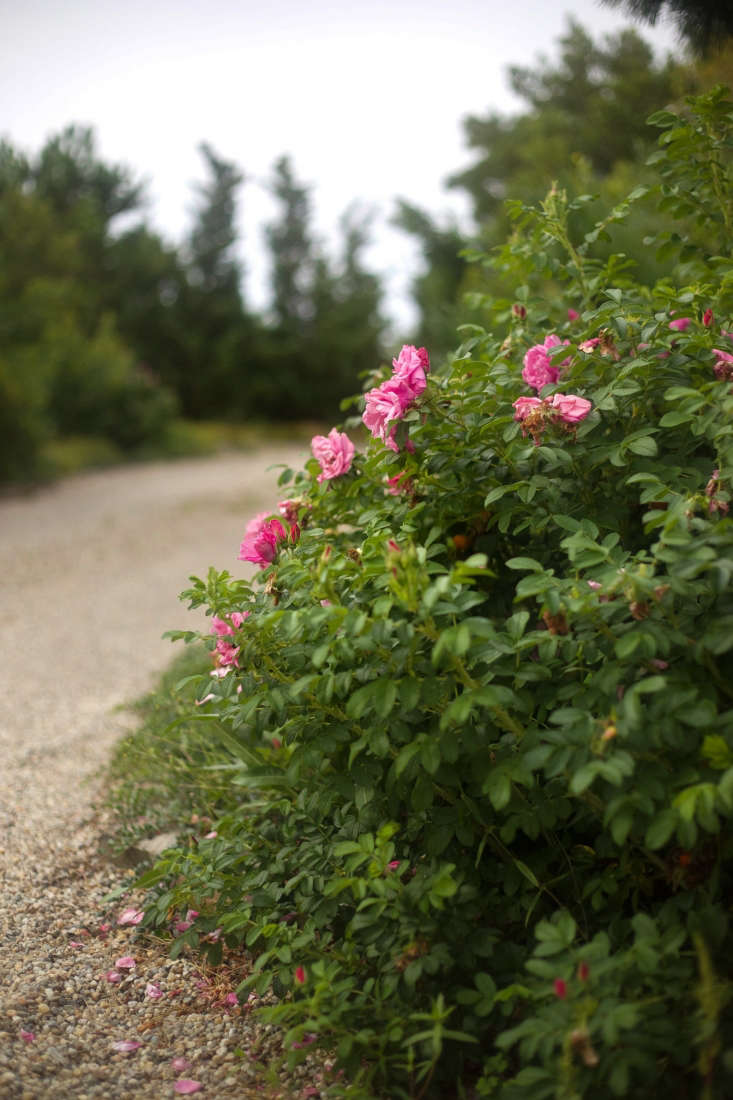 At the driveway entrance, the fragrant blooms of Rosa rugosa &#8
