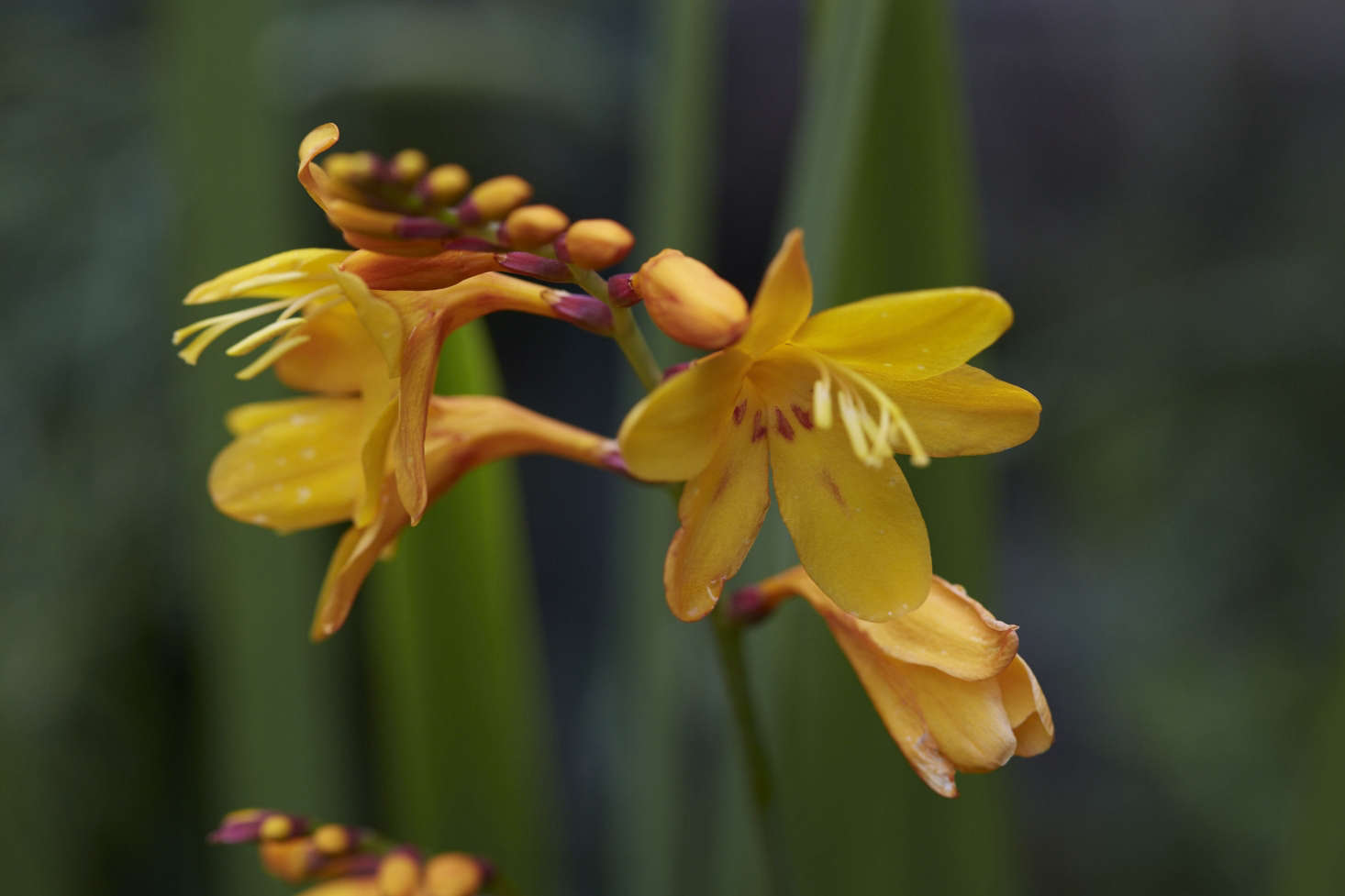crocosmia columbus by Britt Willoughby Dyer