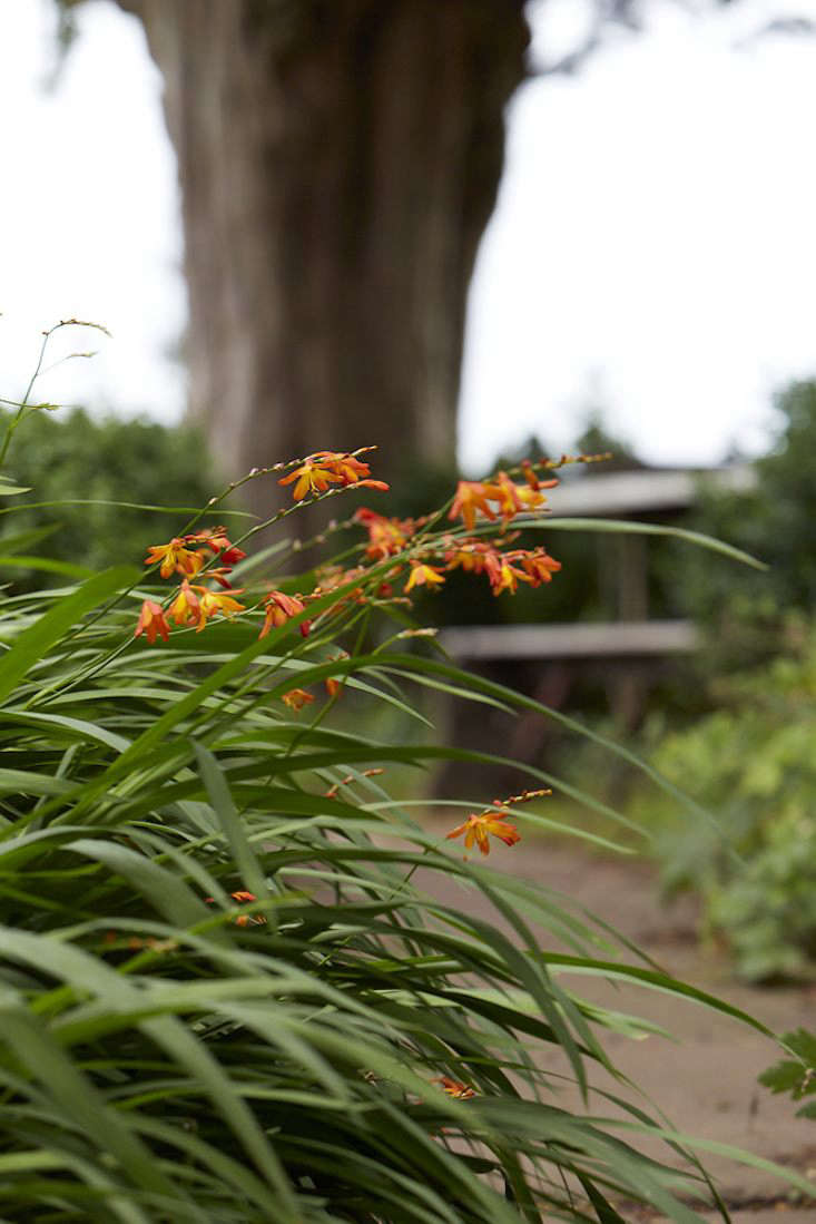 The palette of crocosmia can be hot, hot, hot with an abundance of varieties in various shades of fiery red, bright orange and clear yellow.