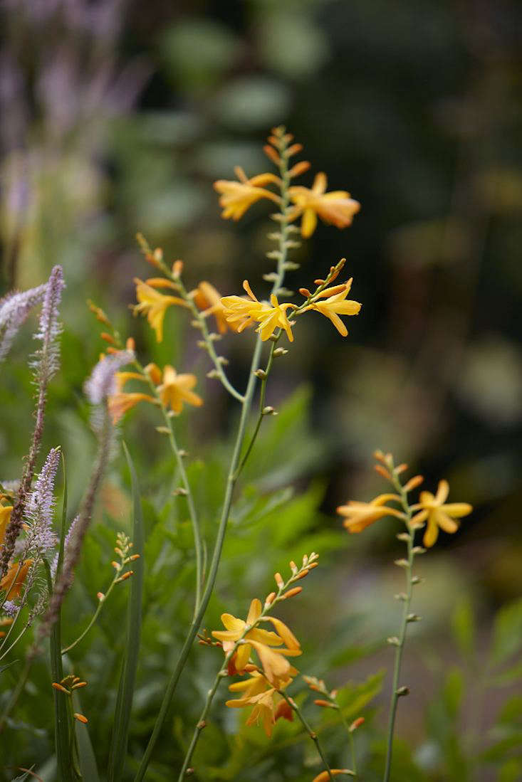 Like its relative gladiolus, crocosmia grows from a bulb-like underground stem called a &#8