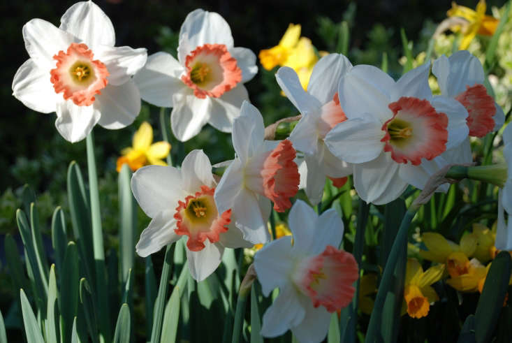 For a similar daffodil with a ruffled coral-red center, consider Narcissus &#8\2\16;Night Cap&#8\2\17;, hybridized by Brian Duncan of Northern Ireland and a new offering from Van Engelen Inc.; 50 bulbs for \$53.\25. Another similar choice isFiretail if yougarden in USDA growing zones 5a-7b (or to 9b on the West Coast). It is among the rarest flowers Old House Gardens offers; five bulbs for \$\16.