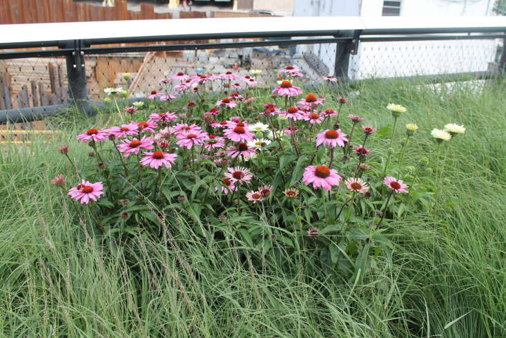 Echinacea purpurea &#8\2\16;Magnus&#8\2\17; blooms on the High Line in New York City. Photograph by Elvert Barns via Flickr.