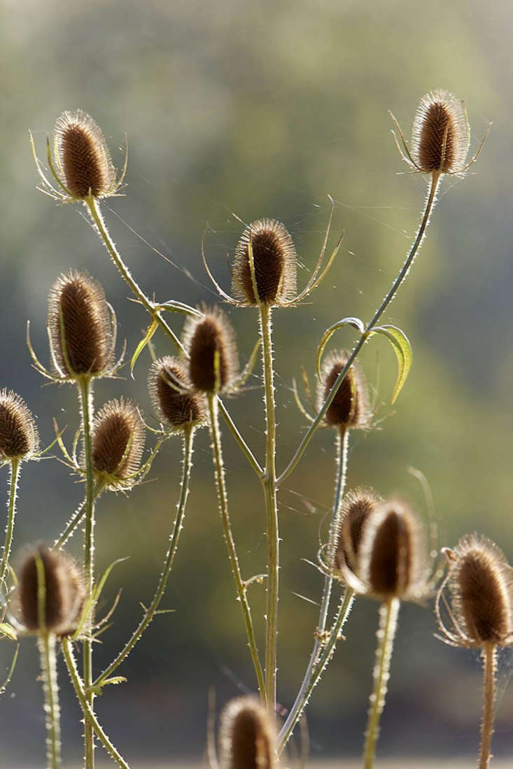 Teasels at the end of summer.