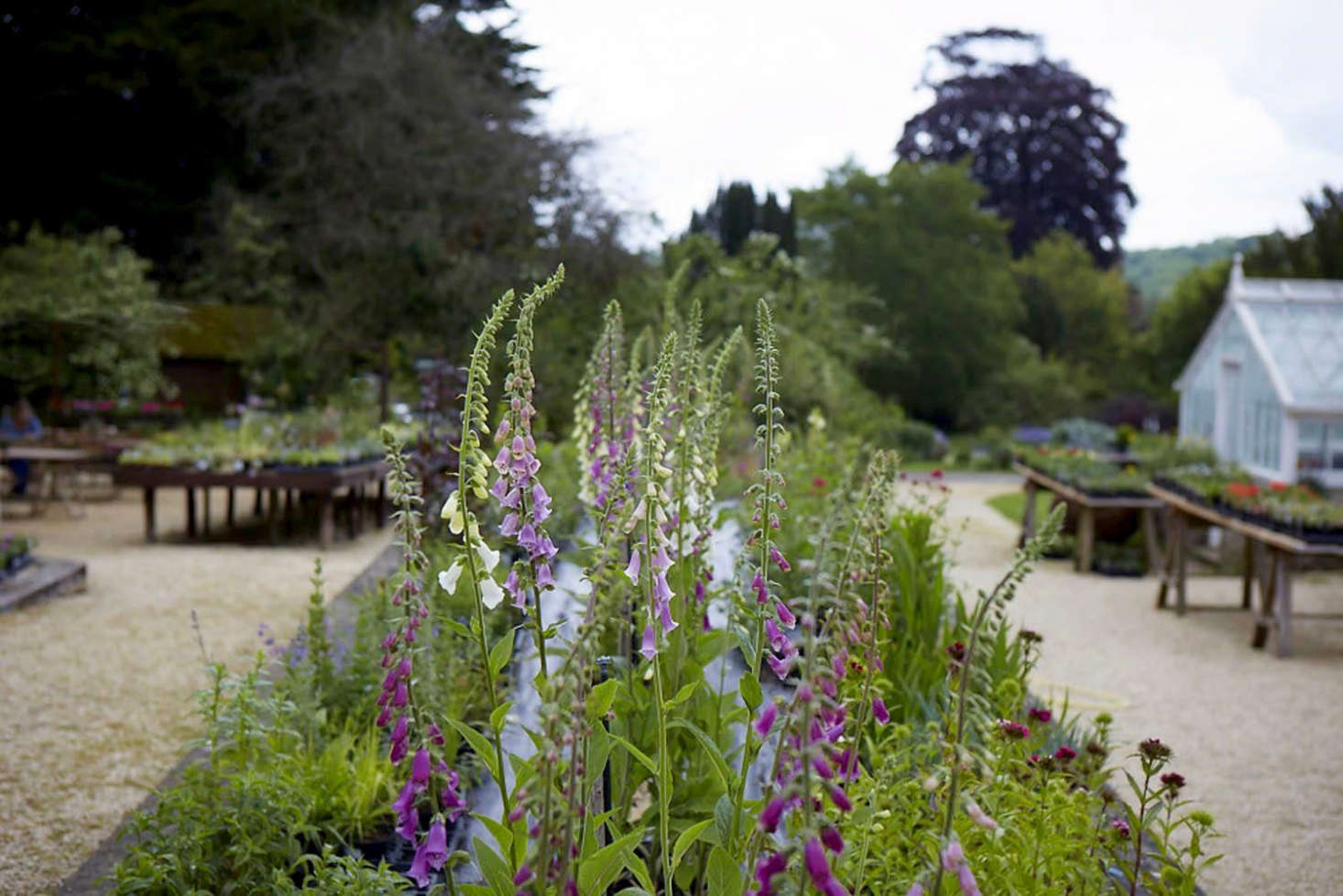 Foxgloves for sale at Miserden Nursery. See more at Ridiculously Charming, Even for the Cotswolds: The Nursery at Miserden. Photograph by Britt Willoughby Dyer.