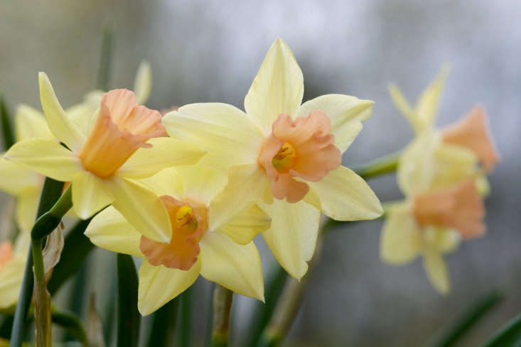 A new offering from John Scheeper&#8\2\17;s this year,Narcissus &#8\2\16;Blushing Lady&#8\2\17; (\10 bulbs for \$7) was first cultivated from seed in \2003 by Brent C. Heath (of Brent and Becky&#8\2\17;s Bulbs, where Blushing Lady Daffodil also is available for \$3.45 for five bulbs). For UK gardeners:Narcissus &#8\2\16;Blushing Lady&#8\2\17; bulbs are \10 for £9.99 from Thompson & Morgan.