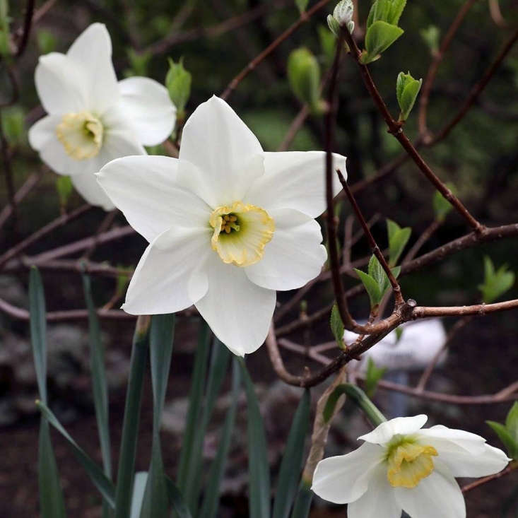 A new introduction from White Flower Farm, &#8\2\16;Eleanor Auchincloss&#8\2\17; is named after the nursery founder&#8\2\17;s granddaughter. Hardy in growing zones 3-8 South (and to zone 9 in the West), six bulbs are \$\15.75.