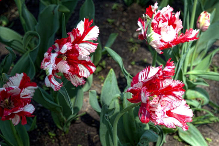 A parrot tulip with ruffly feathers,Estella Rijnveld was introduced in the 50s. Hardy from growing zones 4 to 7, 0 bulbs is $43.75 from Van Engelen. Photograph by Carol VanHook via Flickr.