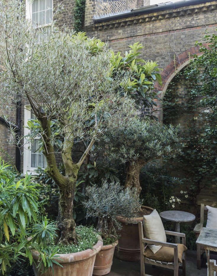 A potted olive tree grows happily in the sheltered spot in London-based designer Rose Uniacke&#8\2\17;s roof garden. If you try this trick at home, remember: Irrigation is essential on exposed terraces (where there is little protection from the sun and from drying winds); planters should be as big as possible (to retain moisture), and a drip irrigation system can save you from heartbreak. See more in \10 Ideas to Steal from London Roof Gardens. Photograph by Matthew Williams.