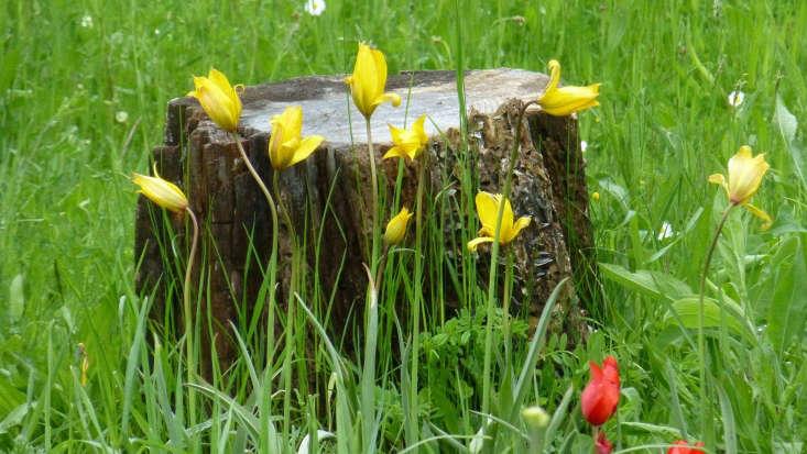 Yellow Tulipa sylvestris. Photograph by Cristina Sanvito via Flickr.