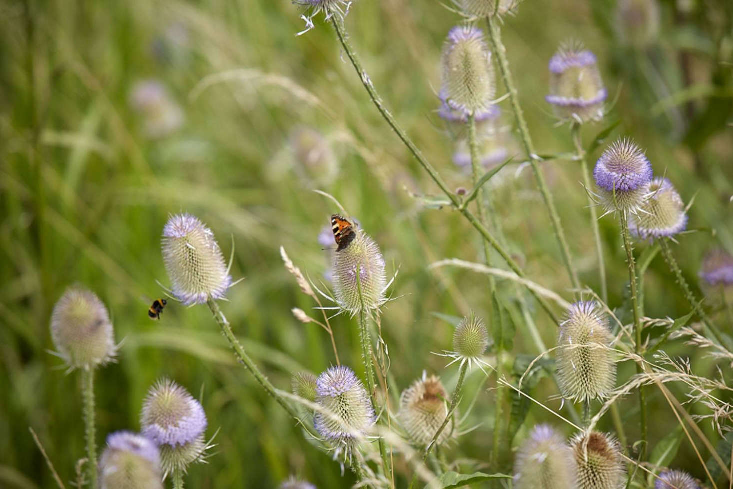 Perfect for pollinators, as well as European goldfinches.