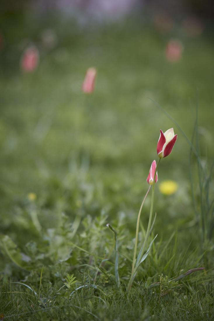 Tulipa clusiana 'Peppermint Stick' opens in the morning and closes as the day wanes. Photograph by Britt Willoughby Dyer.