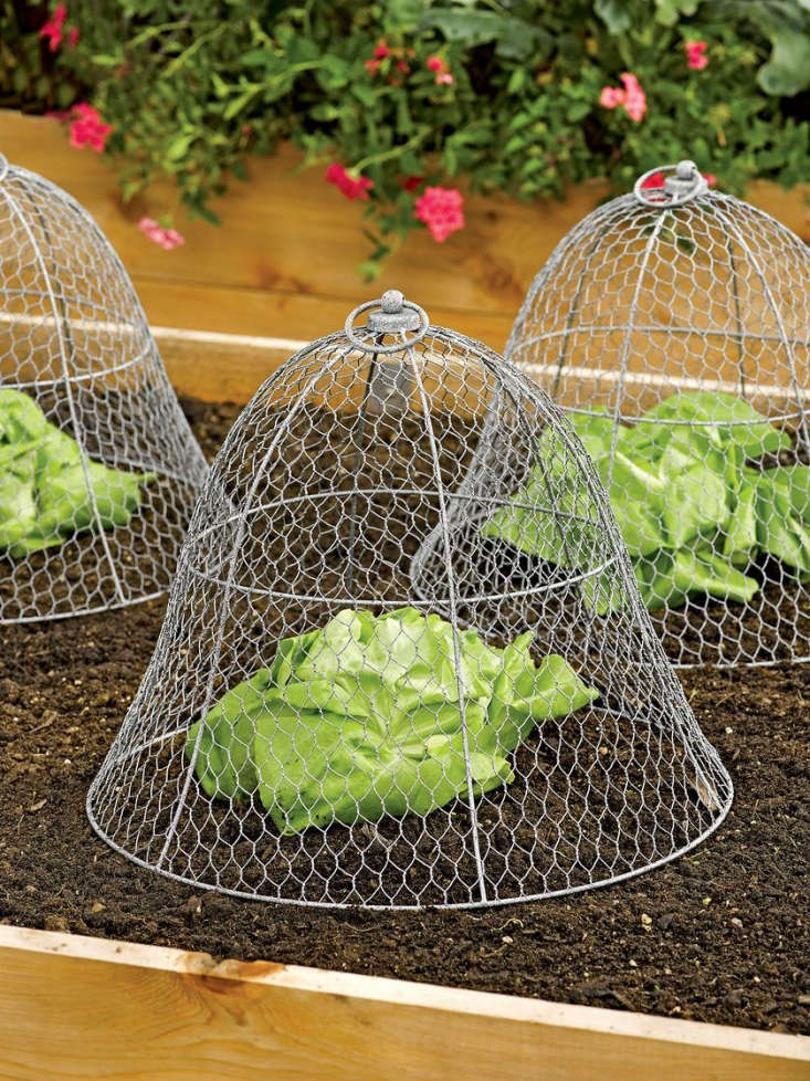 A metal garden cloche with an exaggerated bell shape will protect edibles such as lettuces without bruising their leaves. AChicken Wire Cloche is \16 inches in diameter and \1\2.5 inches high; \$\23.95 apiece (or \$\18 each for a set of three) at Gardener&#8\2\17;s.