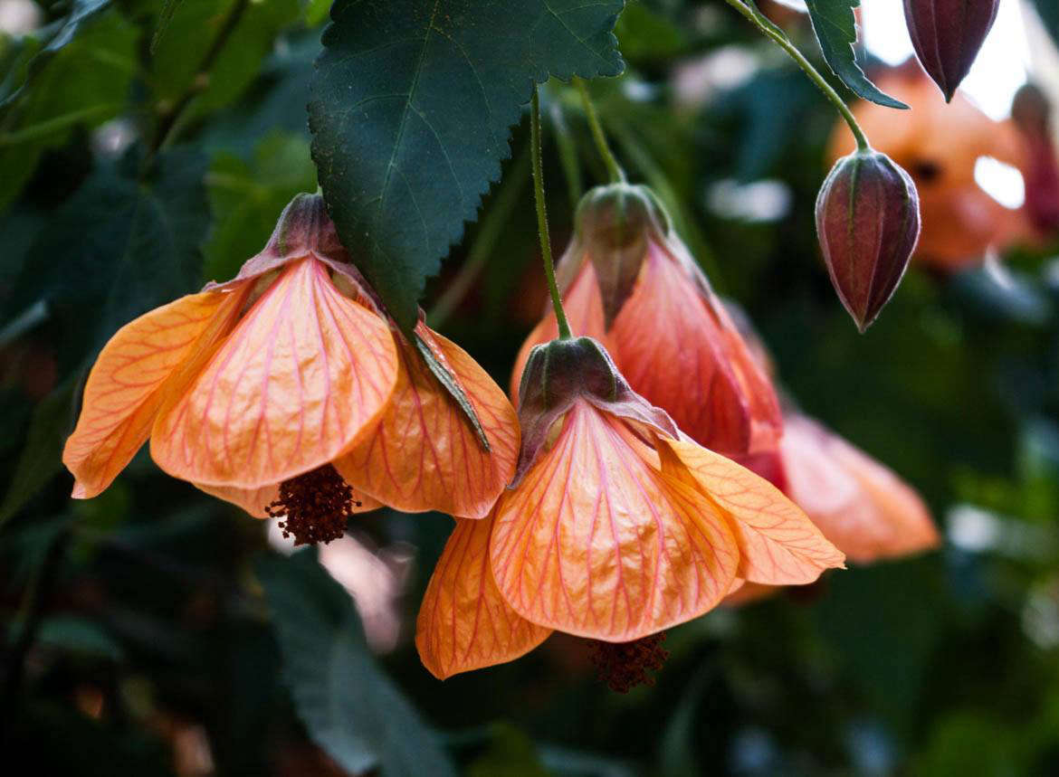With veiny orange clusters, Abutilon blooms look like crepe paper. Photograph by Samantha Forsberg via Flickr.