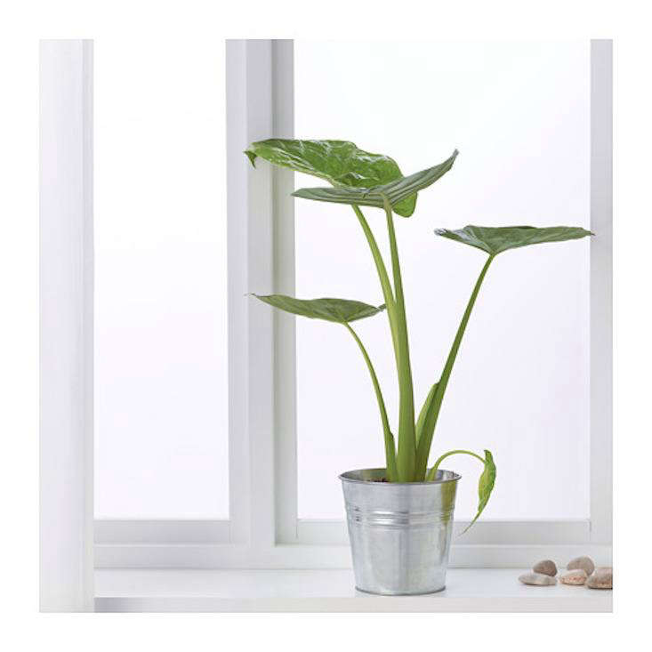 Elephant ears are having a moment. A trendyAlocasia Regal Shield potted plant is $.99 at Ikea.