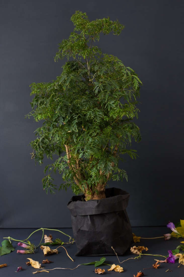 A Ming Aralia Tree in a 6-inch pot is $.95 from Amazon.