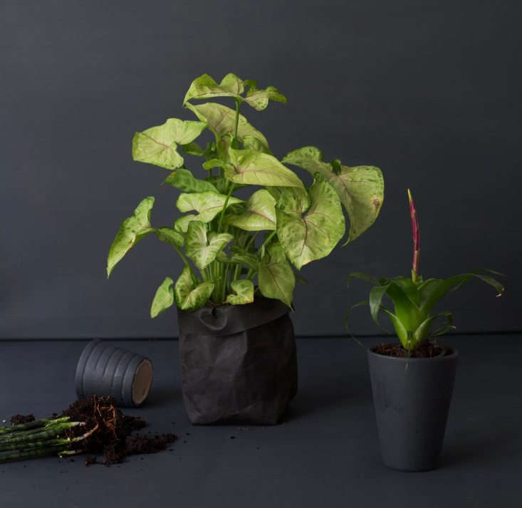 Our Arrowhead Plant came from Home Depot; for a similar variety, a small Syngonium Podophyllum &#8