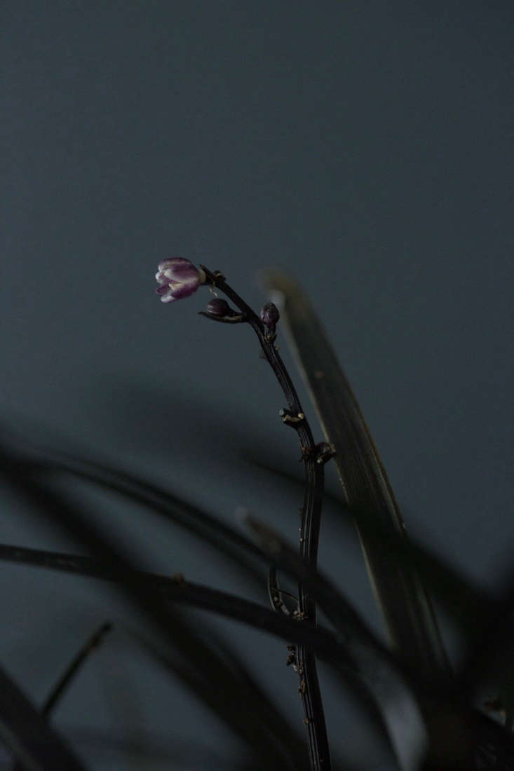 Black mondo grass has a demure, delicate flower. Photograph by Mimi Giboin.