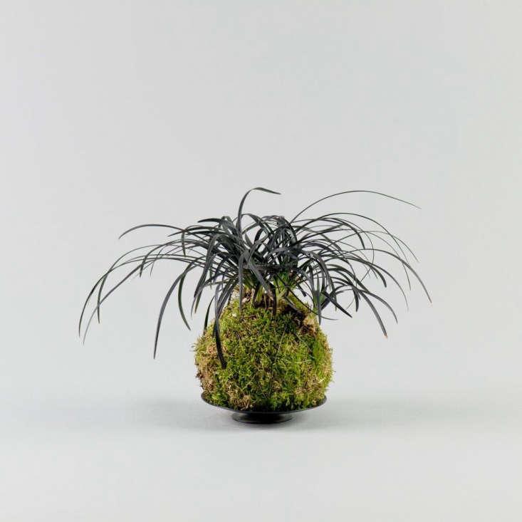 A black mondo grass mash-up; a Black Mondo Grass Kokedama is £50 from Kojo.