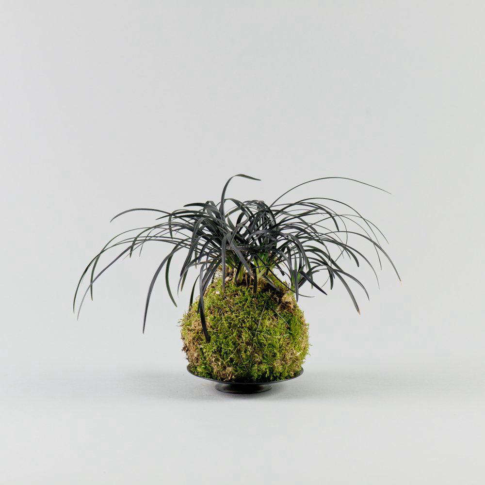 A black mondo grass mash-up; a Black Mondo Grass Kokedama is £50 from Kojo.