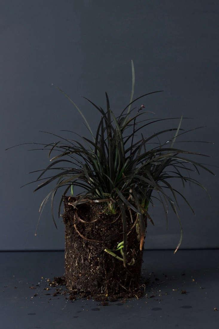 Black mondo grass, rootbound. Photograph by Mimi Giboin.