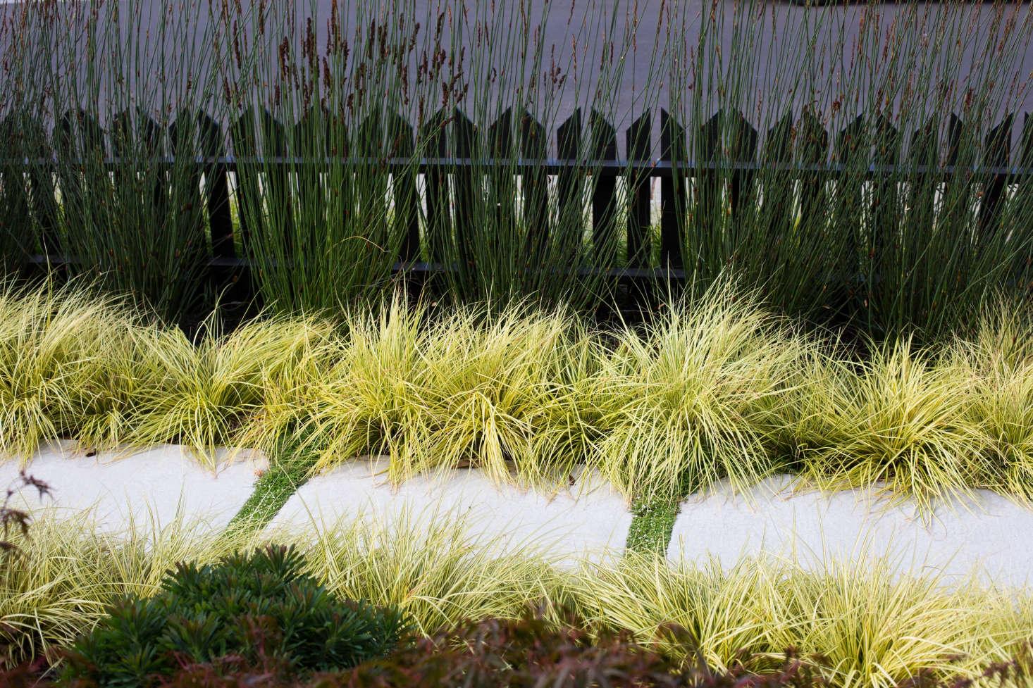 Variegated Japanese sedge (Carex morrowii &#8