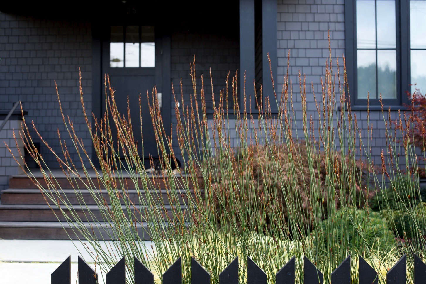 A curtain of cape rush (Chrondopetalum elephantinum) will reach heights of from 4 to 6 feet, creating an airy screening layer behind the picket fece.