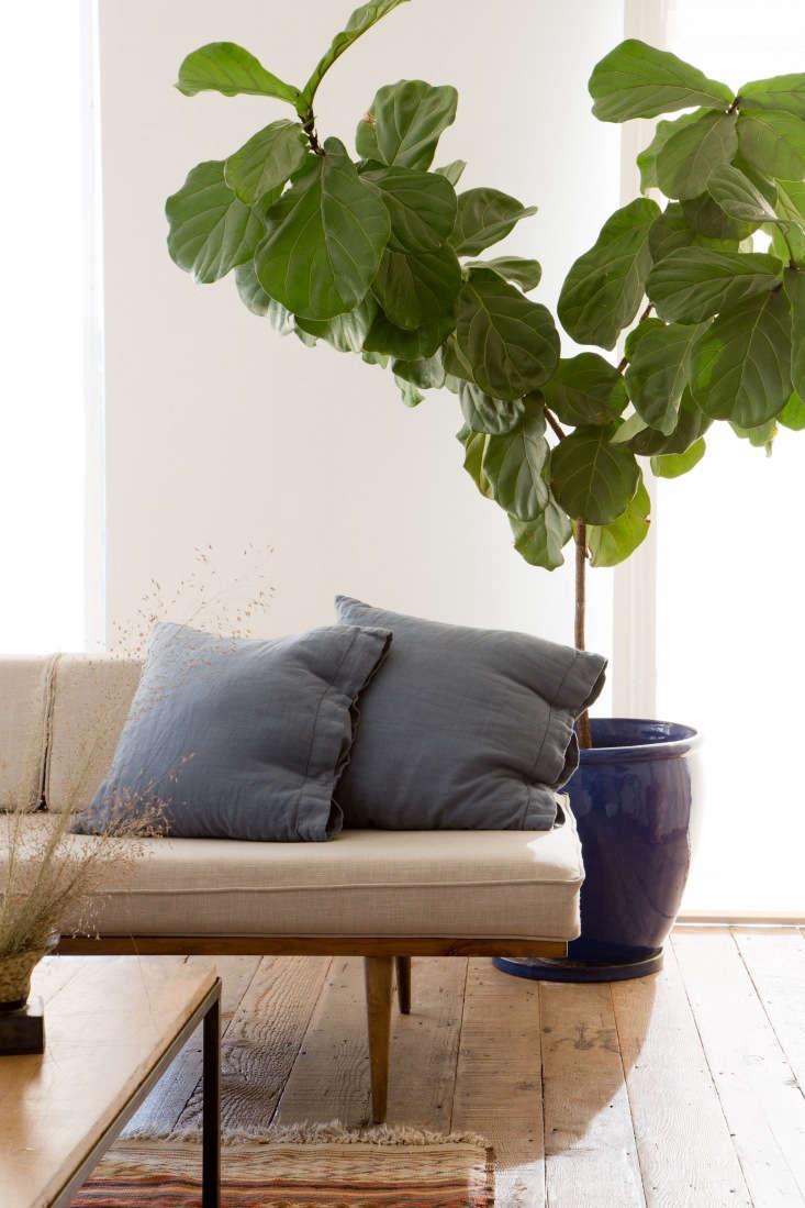 A fiddle leaf fig tree thrives in Sophia&#8