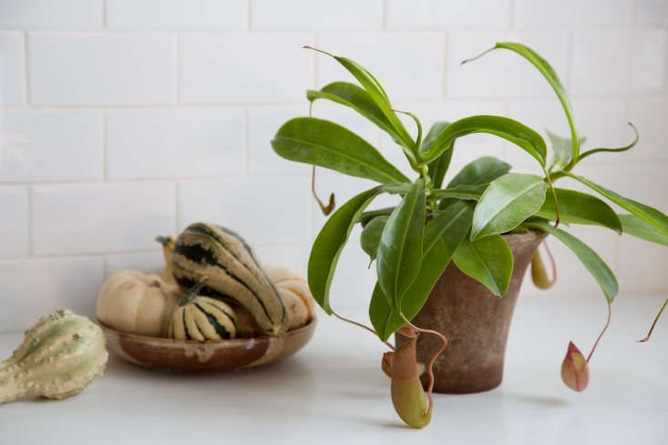 Sophia keeps a pitcher plant she found at the LA flower market on her kitchen counter.&#8