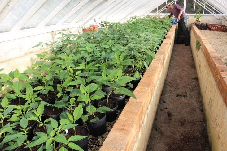 Propagate salvias from semi-ripe stems in late summer. These young plants at Gravteye were started from cuttings taken in late August. They will be held in \2-liter pots under glass over the winter.
