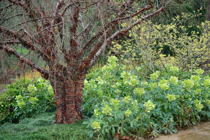 At Martine Lemonnier's Jardins de Bellevue, which holds the French national collection of hellebores, a coppery prunus looks beautiful against a scented backdrop of Sarcococca confusa.
