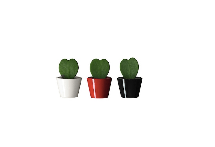 A blast from the past, the Hoya kerriisucculents Ikea used to sell.