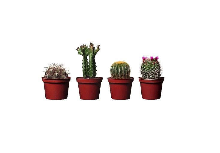 Assorted species of Cactaceae potted plants are $3.99 apiece at Ikea.