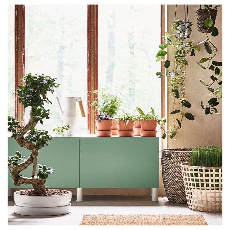 A bonsaiFicus Microcarpa Ginseng is $.99 at Ikea.