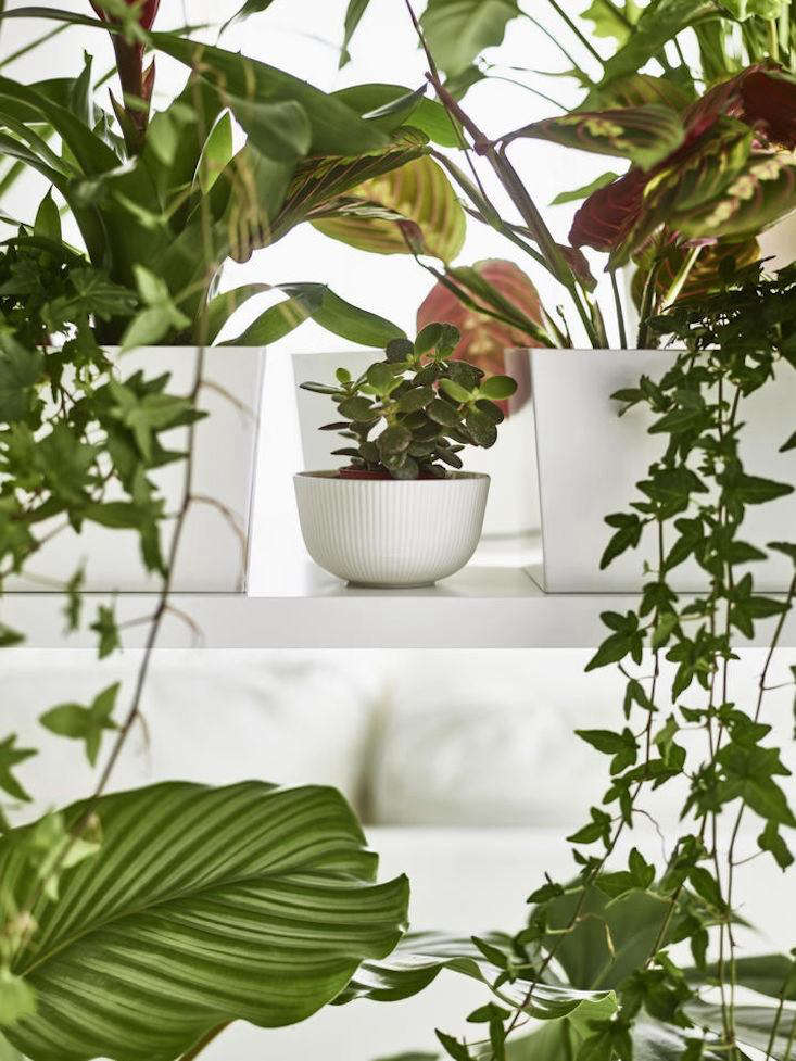 A potted jade plant sits in a white porcelain Ofantligt Bowl from Ikea; $4.99.