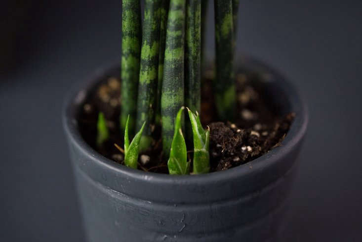 As an added bonus, our snake plant was sprouting offshoots that look like tiny, menacing teeth.