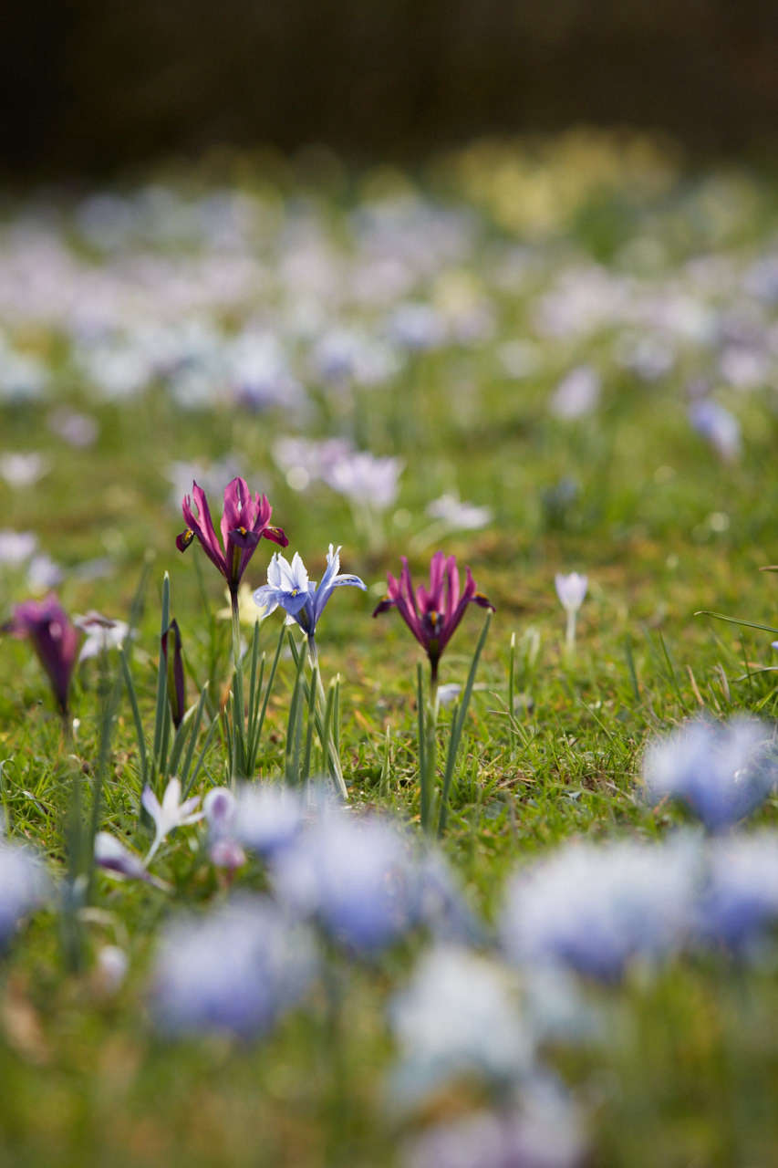 Sources to buy dwarf irises include (for US gardeners) Brent and Becky&#8