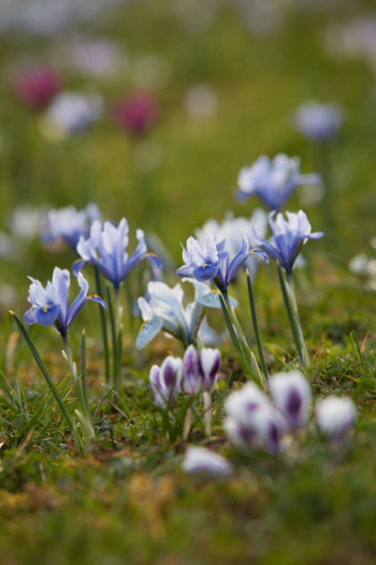 Pastel shades mix well with crocuses.