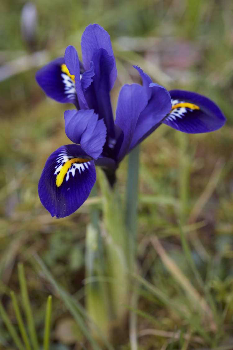 Bulbs that have been used in pots can be replanted after flowering in borders.