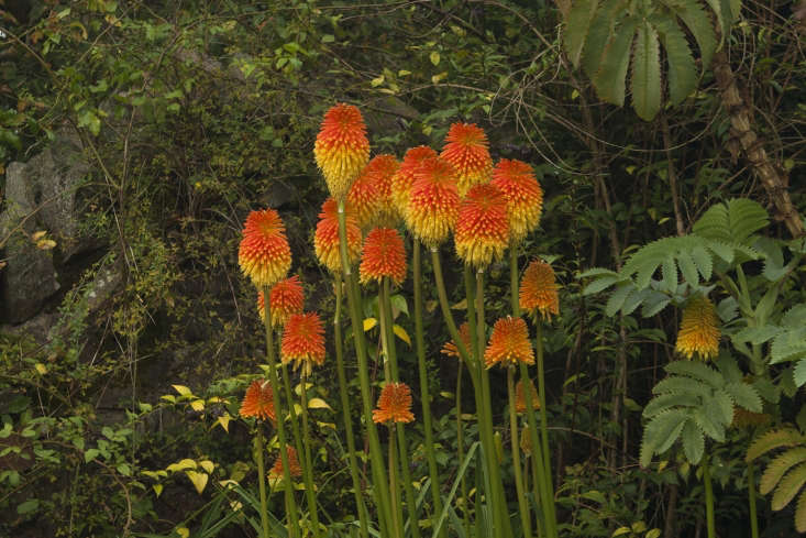 Kniphofia rooperi with jagged leaves of Melianthus major, grown by Gillian Archer at Perrycroft, nearMalvern.