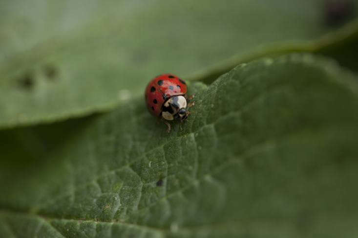 Ladybug to the rescue. Photograph by Jim Powell. See more in Your Garden's Best Friend: The Life and Times of a Ladybug.