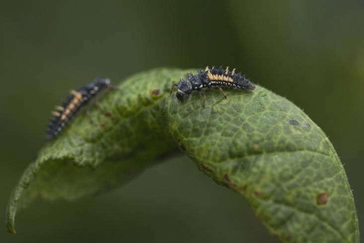 Orange markings show that this is an older pair of ladybug larvae.