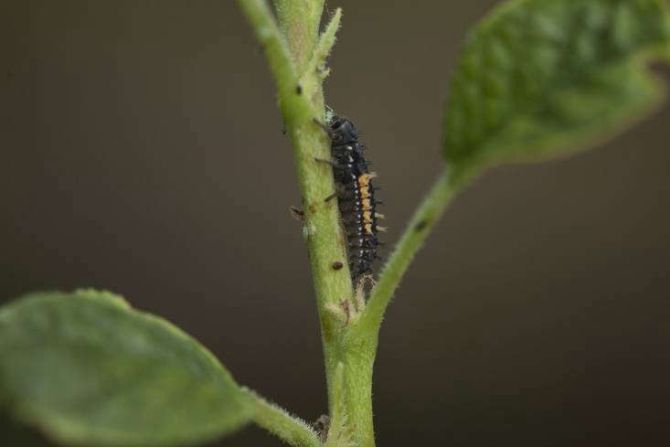 Ladybug larvae shed their skins four times during a 3-6 week period. They can eat their bodyweight in aphids (and scale insects and mealy bugs) in one day.
