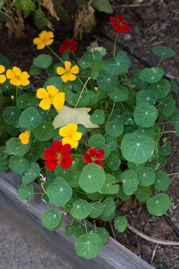 Nasturtiums spill over the edge of a raised bed. Photograph by Mimi Giboin for Gardenista, from Before & After: An Artful Gravel Garden in Sonoma, California.