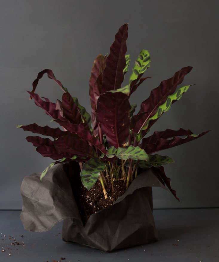 Its dramatically speckled leaves with bruised-purple undersides make our Calathea insignis look like it got into a bar fight. For a more demure specimen, a Rattlesnake Plant in a woven pot is $ from White Flower Farm.
