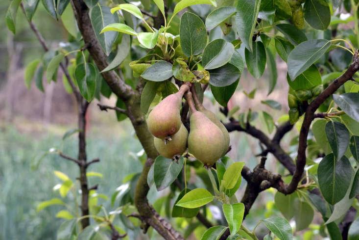 A pear tree in Romania. Photograph by Marcu Ioachim via Flickr.