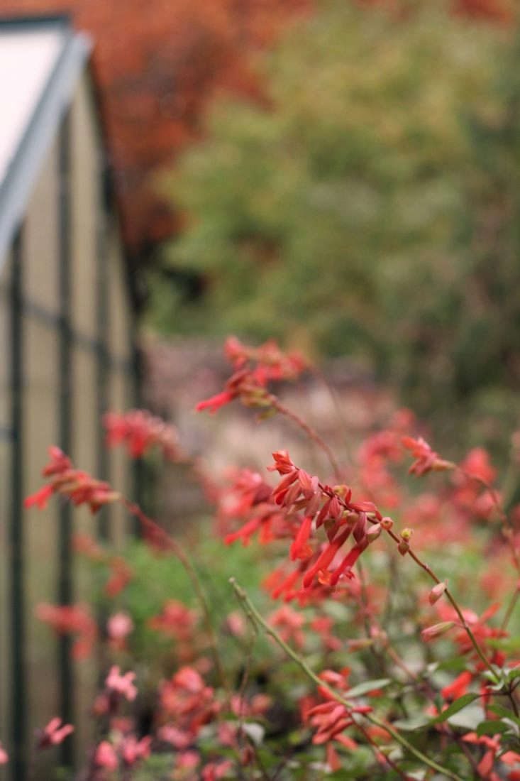 The coral Salvia &#8\2\16;Ember&#8\2\17;s Wish' harmonizes with fall foliage at Dyson's Nursery in Kent, England.