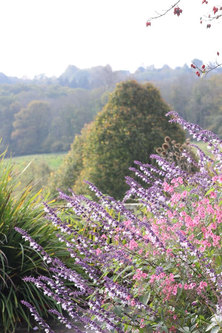 Salvia 'Phyllis&#8\2\17; Fancy' at Gravetye with Diascia personata, both flowering into late October.