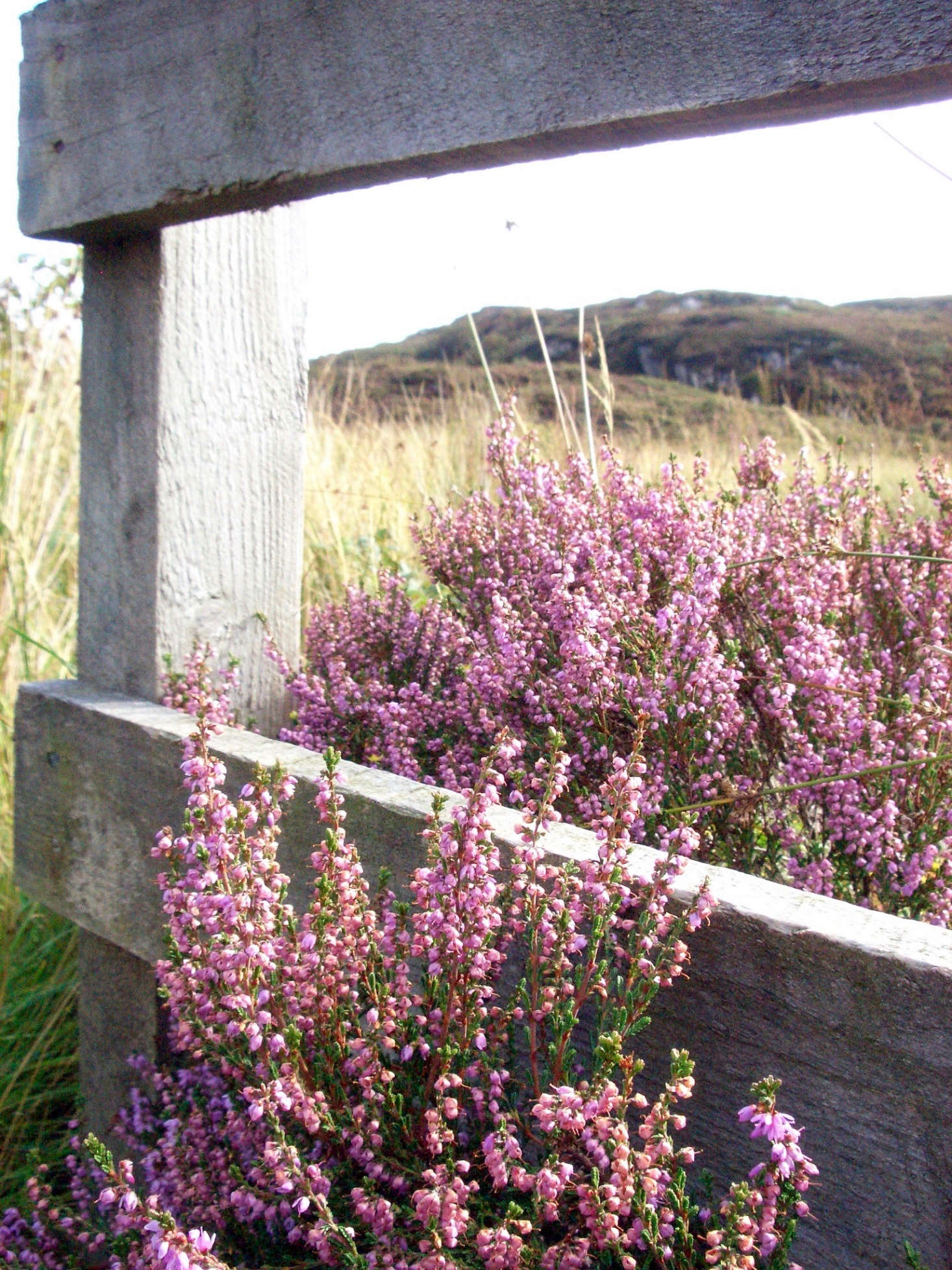 Heather in bloom on the Isle of Mull. Photograph by Saskia Heijltjes via Flickr.